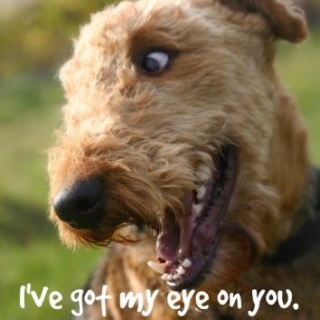 Airedale_Terrier_1